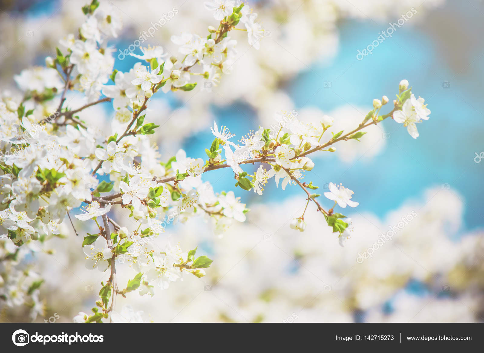 Flowering trees white flowers in the spring selective focus flowering trees white flowers in the spring selective focus stock photo mightylinksfo