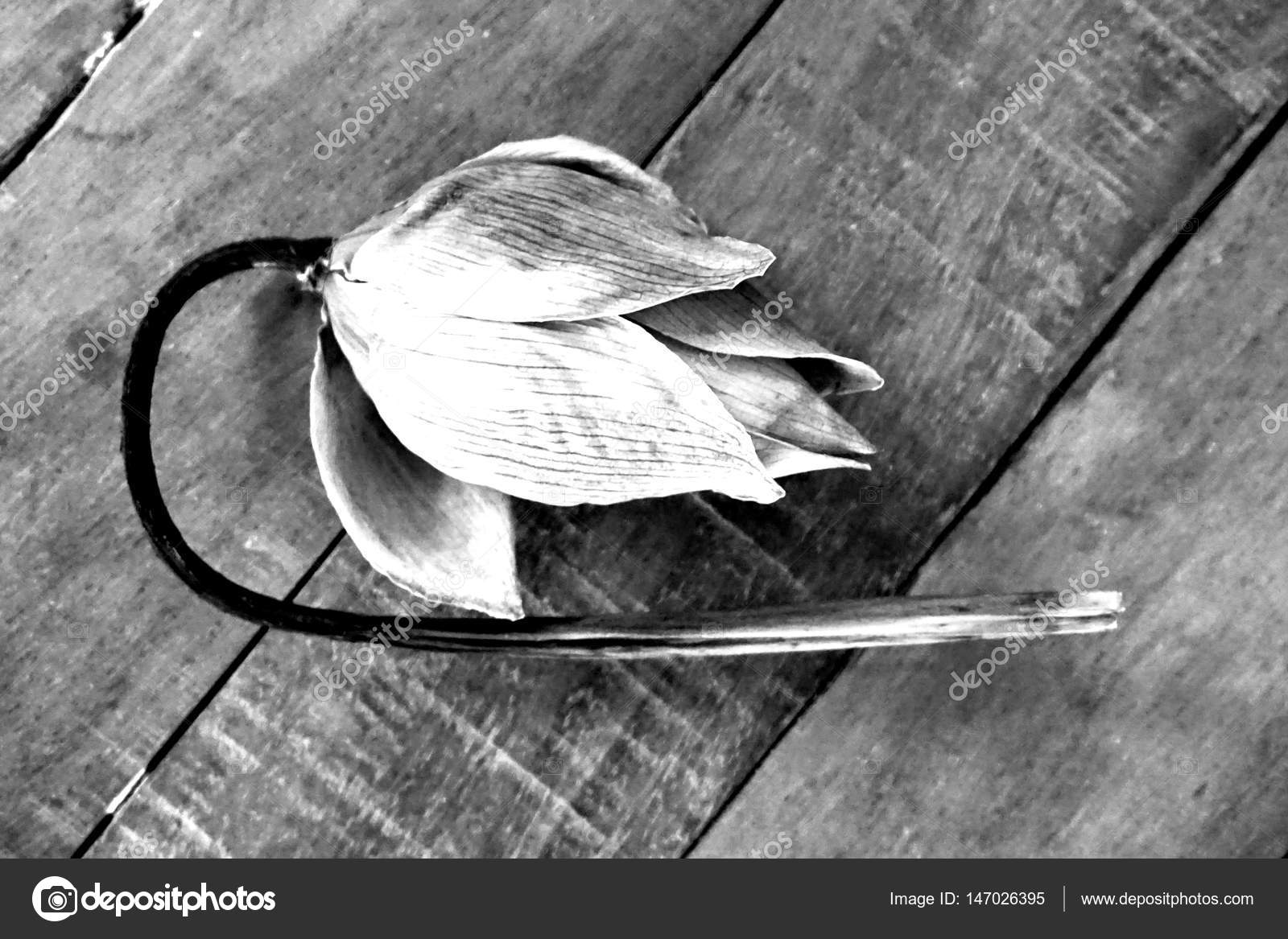 Dry lotus flower stock photo tanantornanutra 147026395 concept of dry lotus flower about pretty is not stable photo by tanantornanutra izmirmasajfo Choice Image