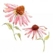 Fotografie Watercolor pink echinacea flower