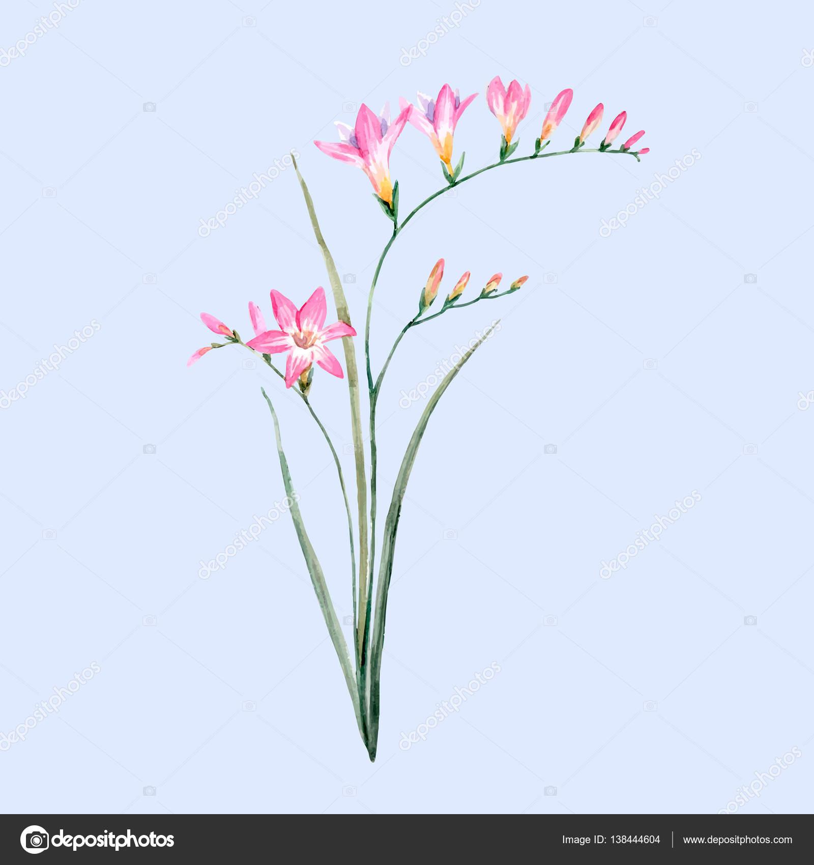 Watercolor pink freesia flower stock vector zeninaasya 138444604 beautiful vector illustration of hand drawn watercolor pink freesia flower vector by zeninaasya mightylinksfo