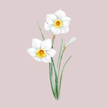 Watercolor white daffodil flower