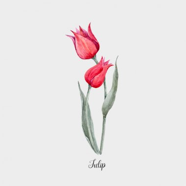 Watercolor red tulip flower