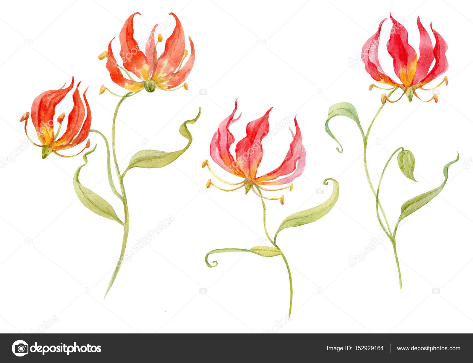 цветок глориоза фото