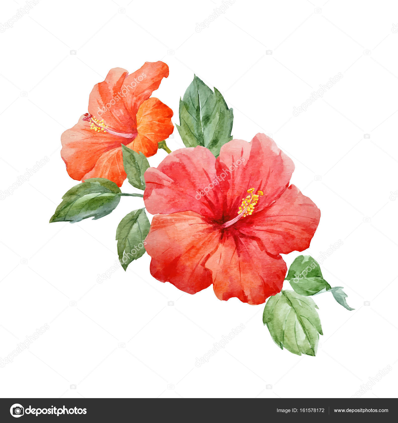 Watercolor vector tropical hibiscus flower stock vector beautiful vector watercolor hand drawn tropical hibiscus flower illustration on transparent background vector by zeninaasya izmirmasajfo Image collections