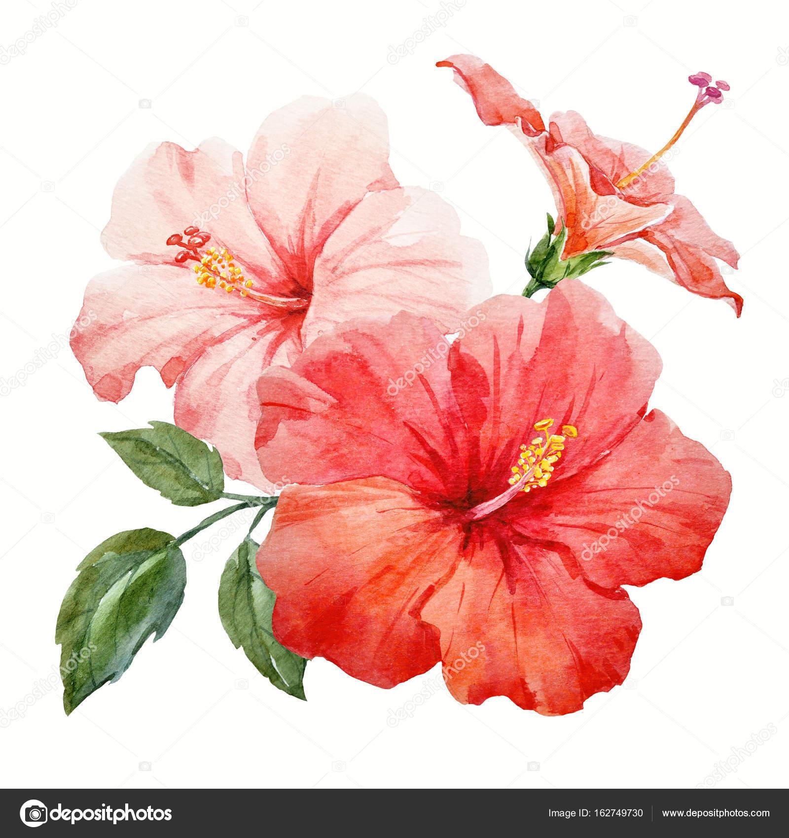 Watercolor tropical hibiscus flower stock photo zeninaasya beautiful watercolor hand drawn tropical hibiscus flower illustration photo by zeninaasya izmirmasajfo