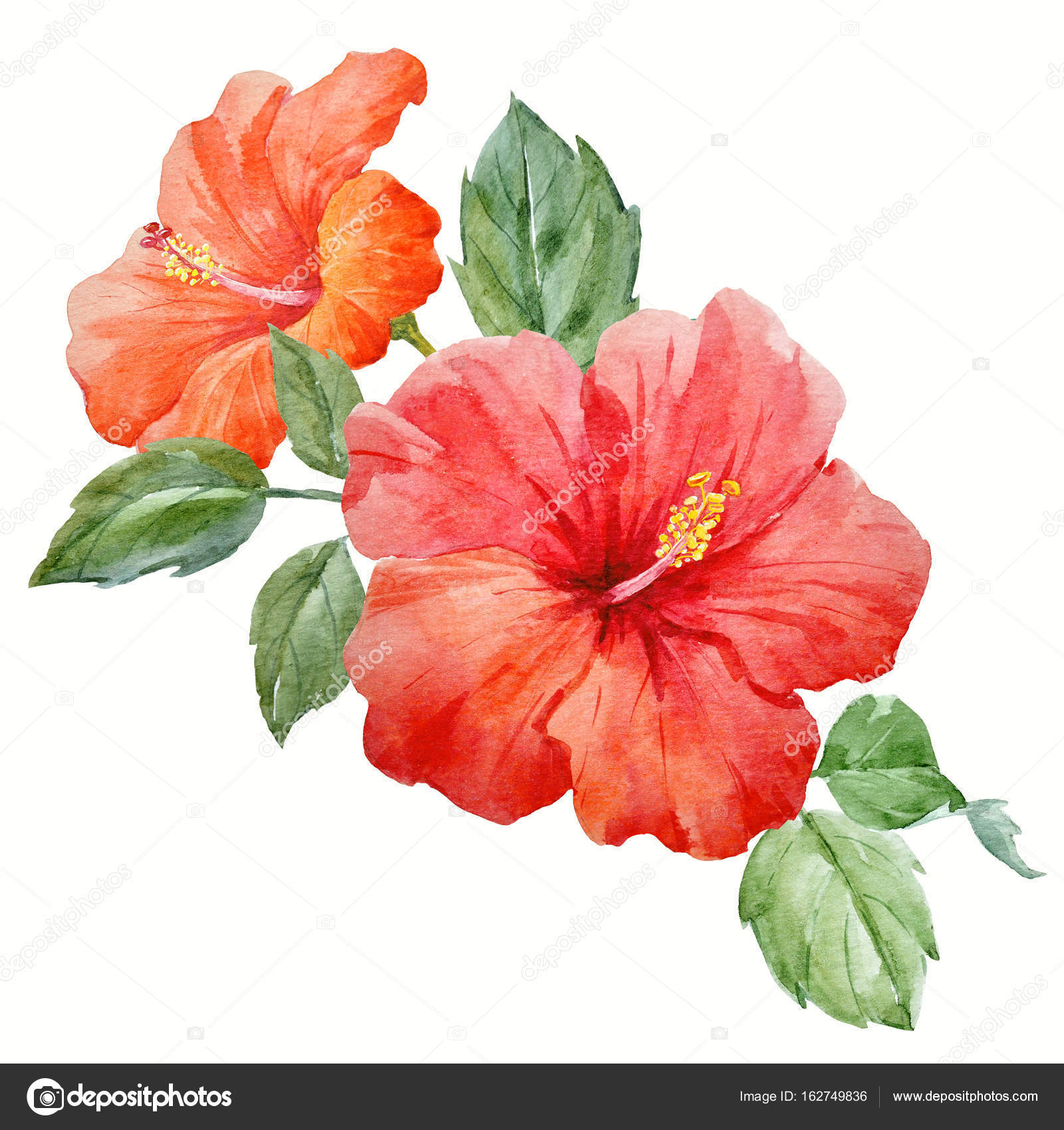 水彩トロピカル ハイビスカスの花 ストック写真 Zeninaasya 162749836