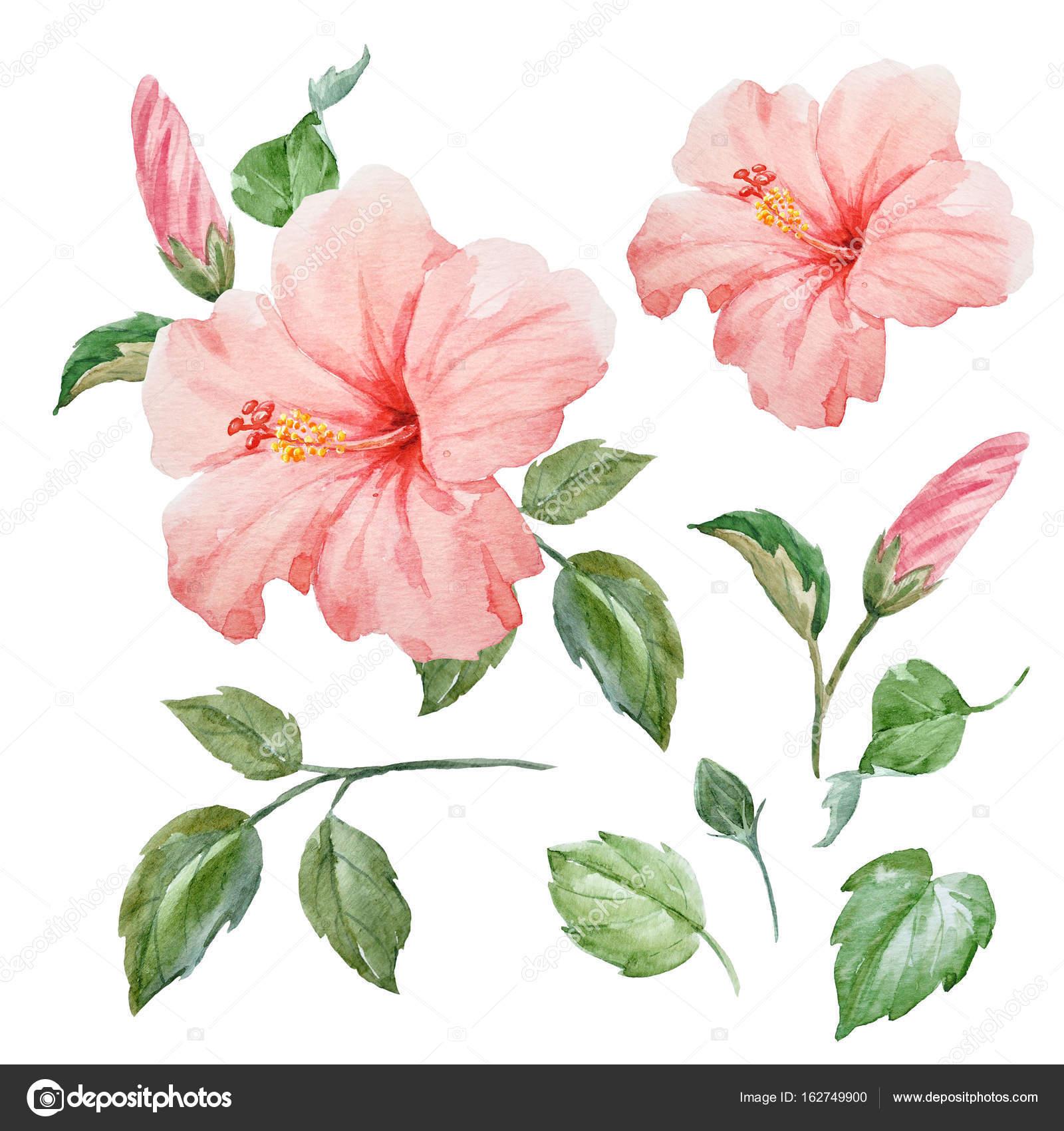 水彩トロピカル ハイビスカスの花 ストック写真 Zeninaasya 162749900