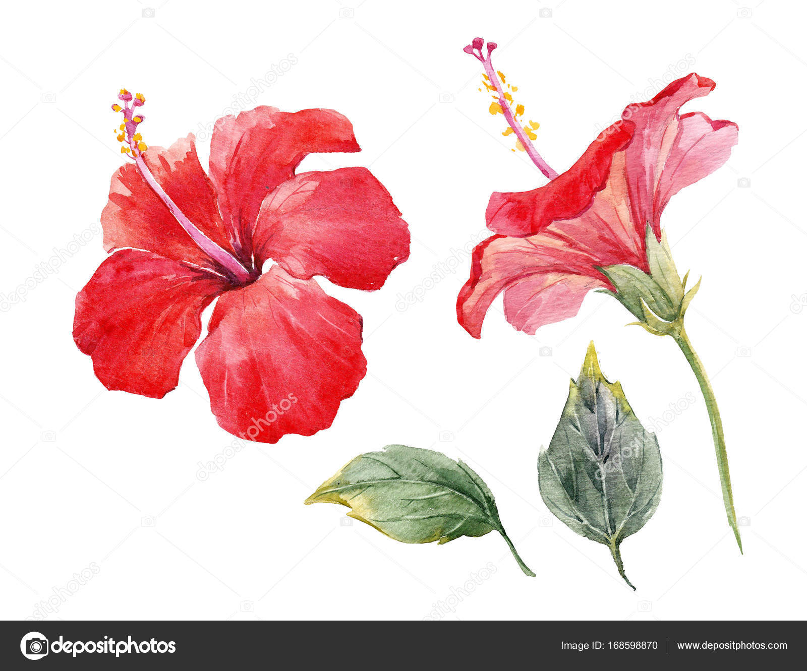 Watercolor Hibiscus Flower Set Stock Photo Zeninaasya 168598870