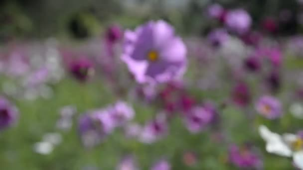 nature scene of blooming cosmos flowers, blurred background