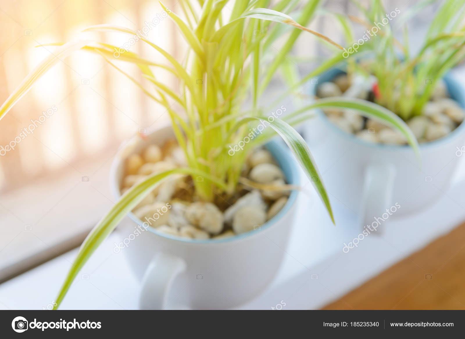 Pająk Roślina Chlorophytum W Białe Doniczki Ceramiczne