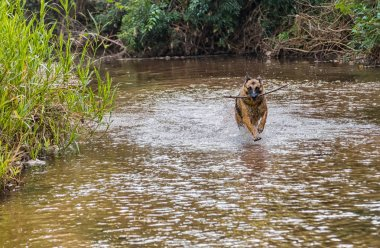 German shepherd dog while running in a river in paraguayan rainforest.
