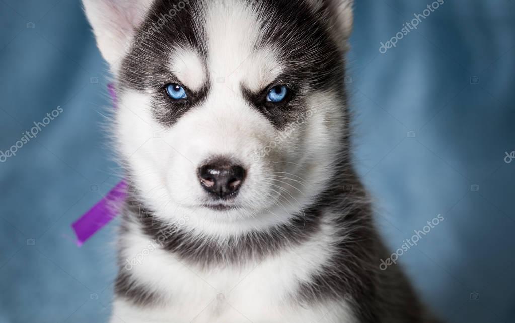 Cucciolo siberian husky con gli occhi azzurri foto stock svphilon 150596466 - Husky con occhi diversi ...