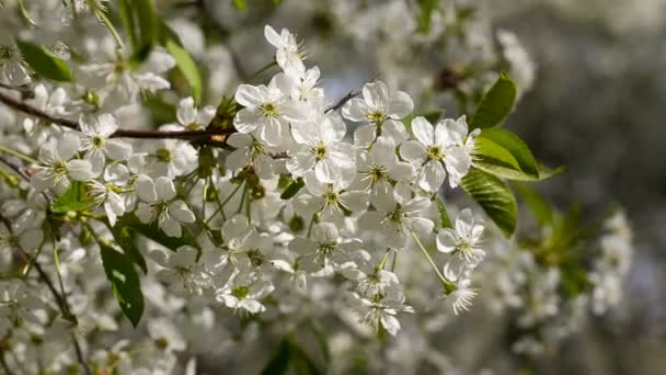 bílé květy Třešňové květy