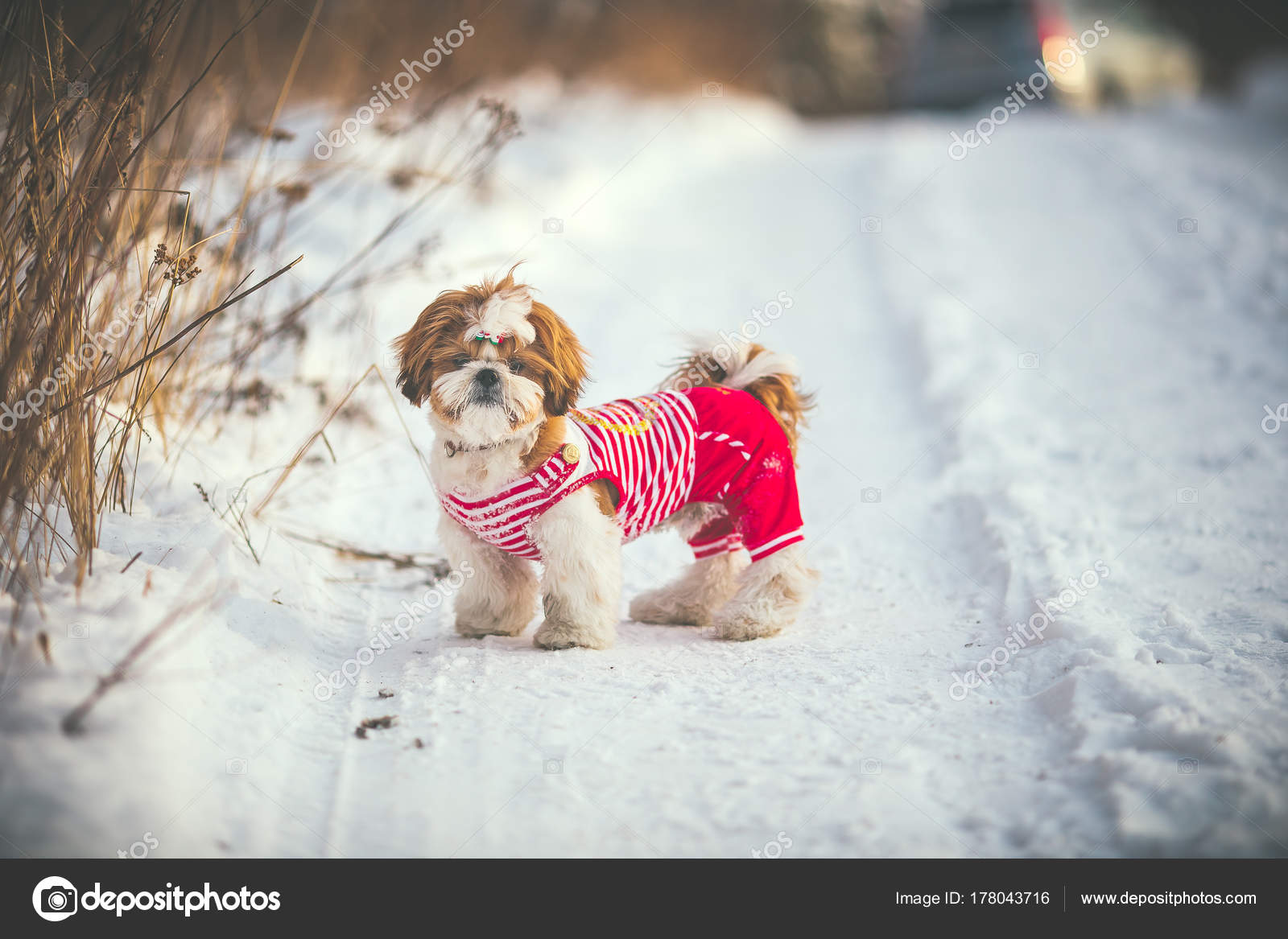 Pics Doc Holliday Winter Walk Snow Park Shih Tzu Puppy Clothes Stock Photo C Viclin 178043716