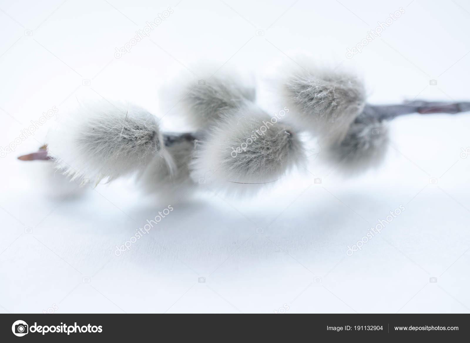 Μαύρο μουνί ιτιάς δέντρο