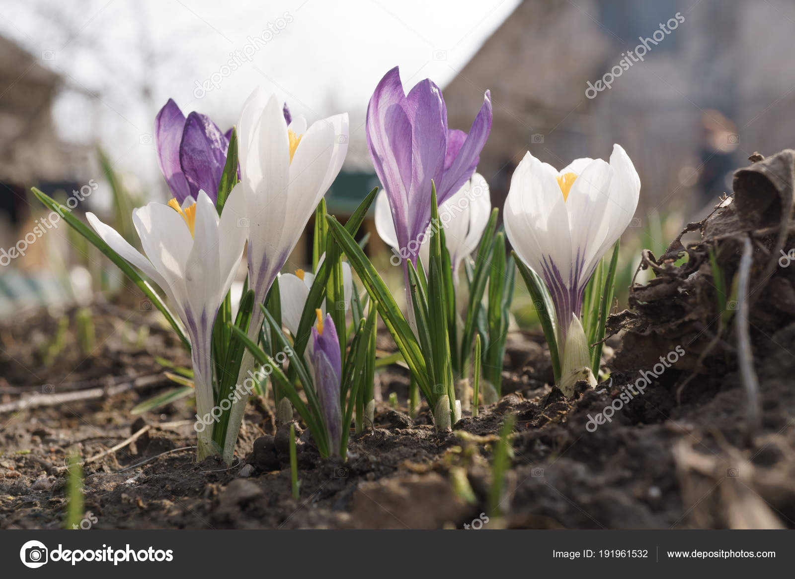 Purple and white crocus flower buds in the garden stock photo purple and white crocus flower buds in the garden stock photo mightylinksfo