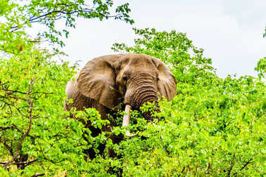 A large adult African Elephant eating leafs from Mopane Trees in a forest near Letaba in Kruger National Park, a large Nature Reserve in South Africa