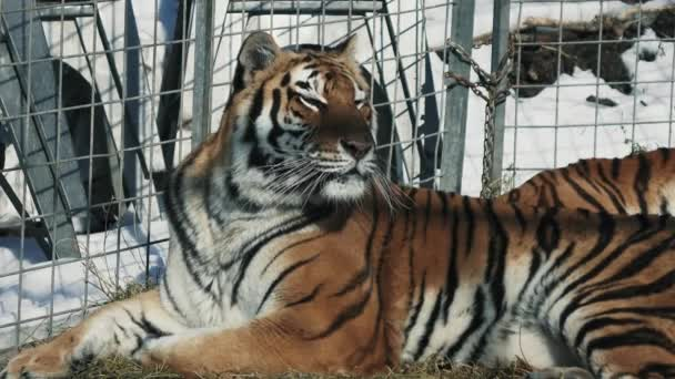 A tigris pihen a földön. 4