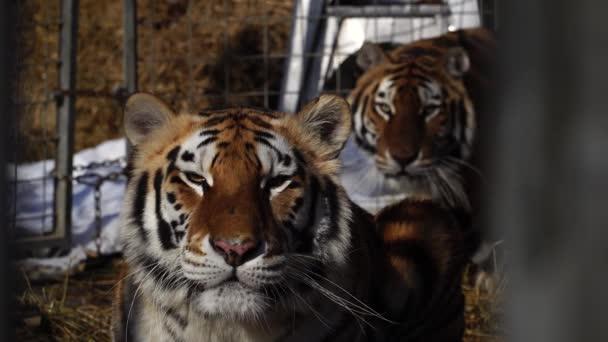 Zár-megjelöl kilátás két tigrisek. Nagymacskák nézi a kamera. 4