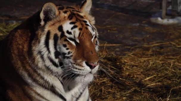 Ritratto di una tigre appoggiati a terra. 4