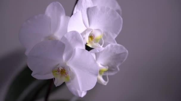 Weiße blühende Orchideen rotieren. Nahaufnahme, Dolly Shot. 4k