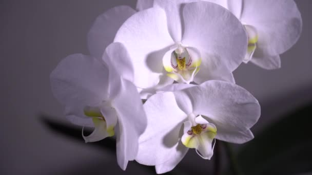 White blooming orchid rotate. Close up, dolly shot. 4K
