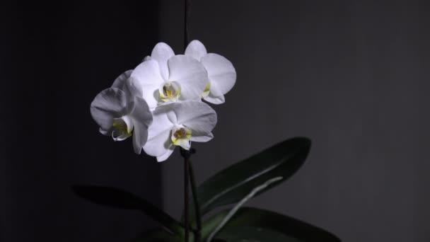 Bílá kvetoucí orchidej rotuje. Zblízka, panenko. 4k