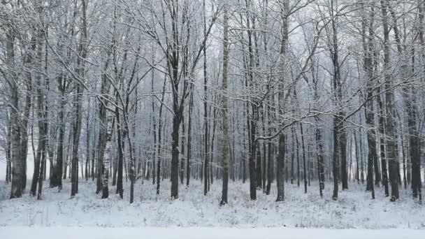 Sněží v lese. Zasněžené stromy