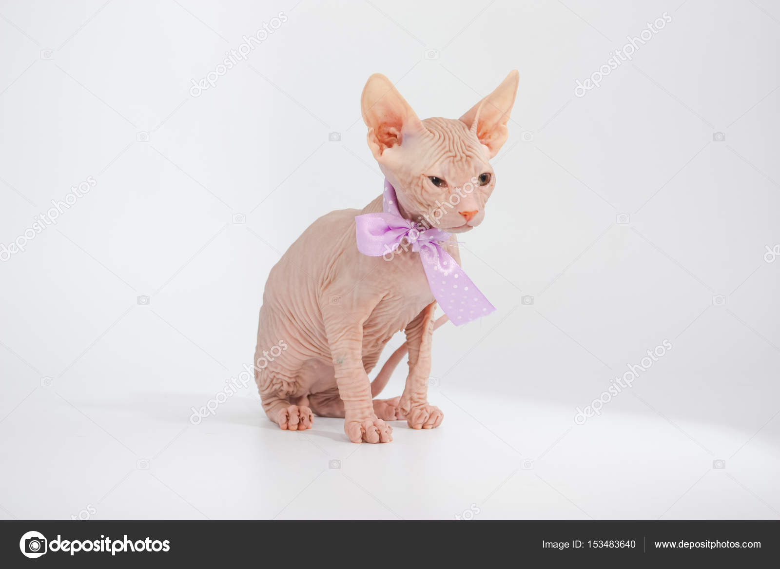 Funny hairless sphynx kitten on white background — Stock
