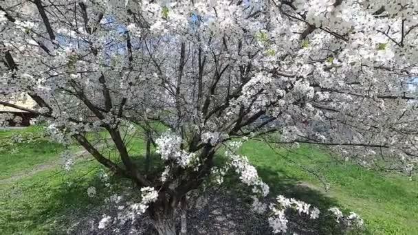 Bělorusko. Jaro. Cherry v bílé květované šaty.