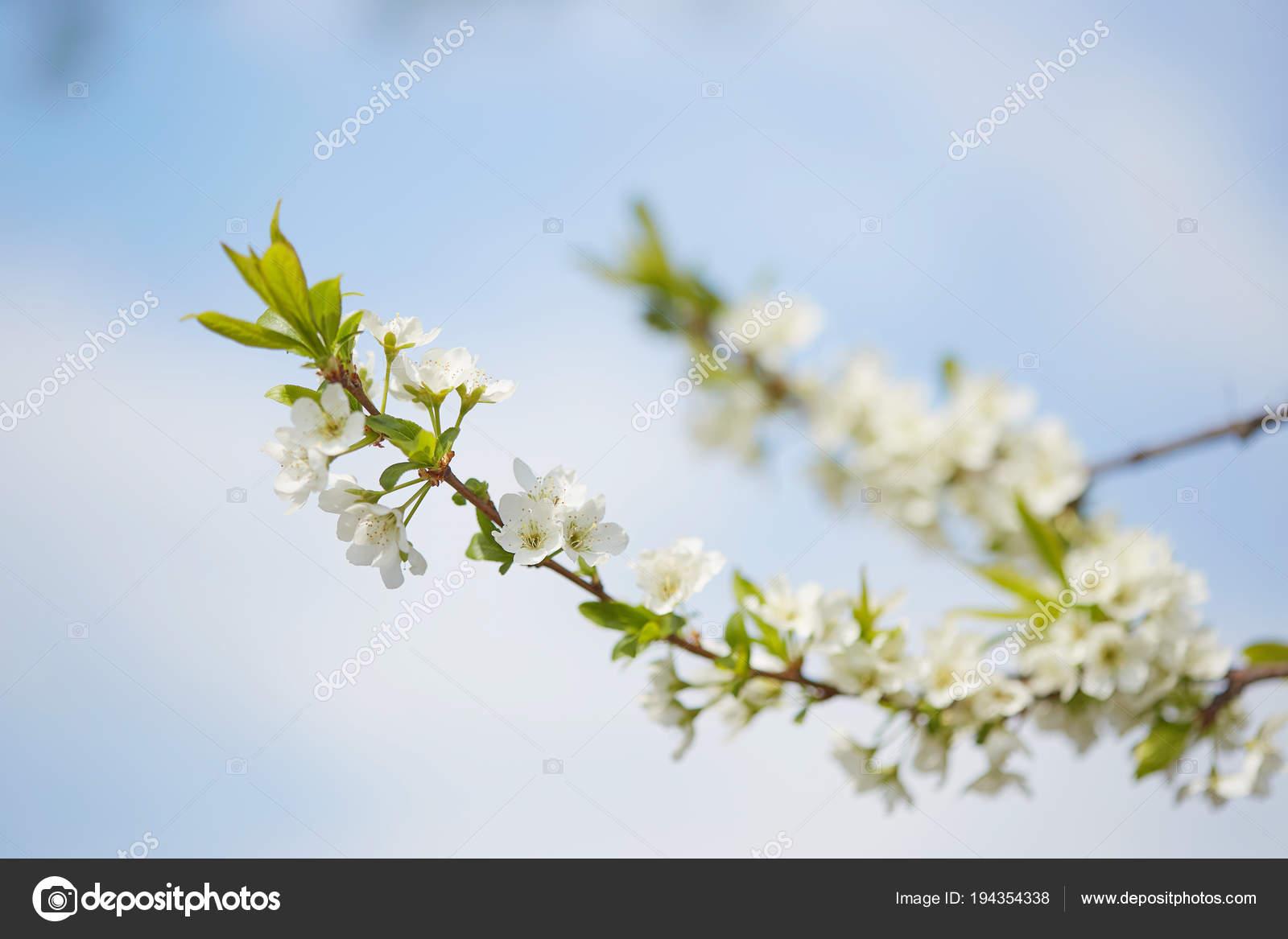 Fiori Bianchi Frutto.Primavera Ciliegia In Fiori Bianchi Fioritura Di Alberi Da