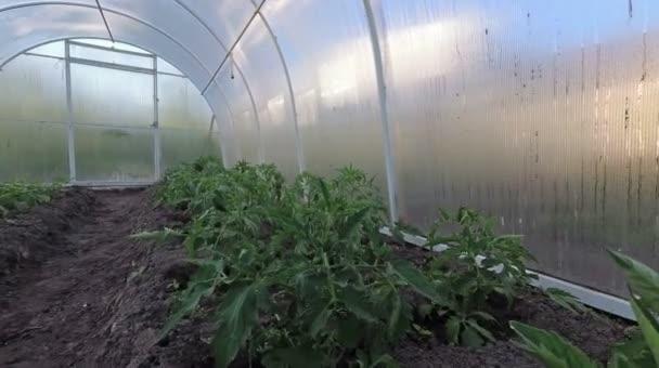 Ganz und zu Extrem Gewächshaus Inneren Sämling Paprika Und Tomaten Den Boden @ZG_92