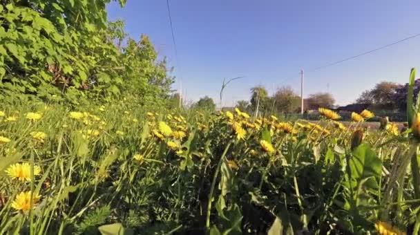 Jarní žlutá Pampeliška pole. chodit na louce.