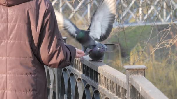 man feeds birds pigeons and tits with hands
