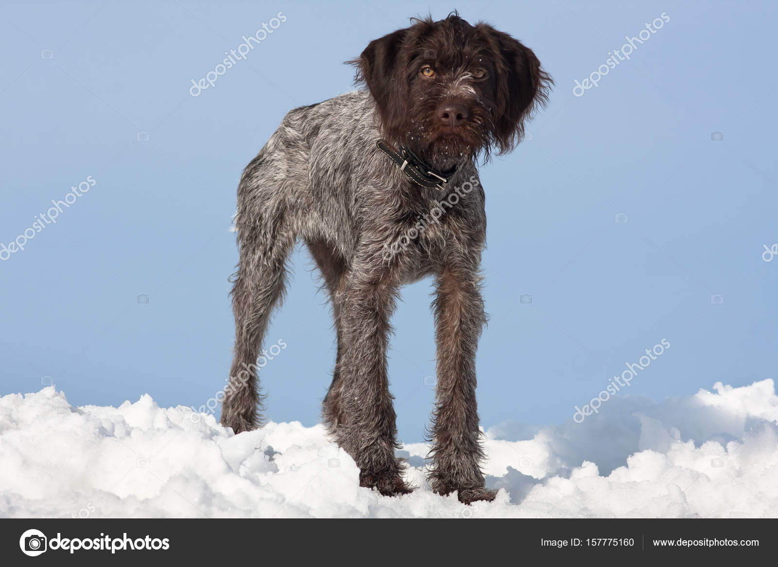 young hunting dog in winter on sky background — Stock Photo ...
