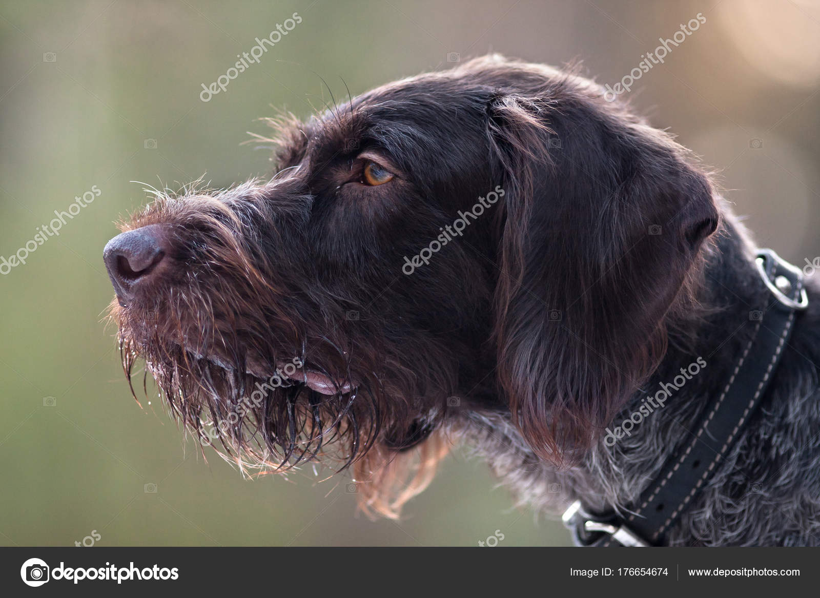 portrait of german wirehaired pointer — Stock Photo © RodimovPavel ...