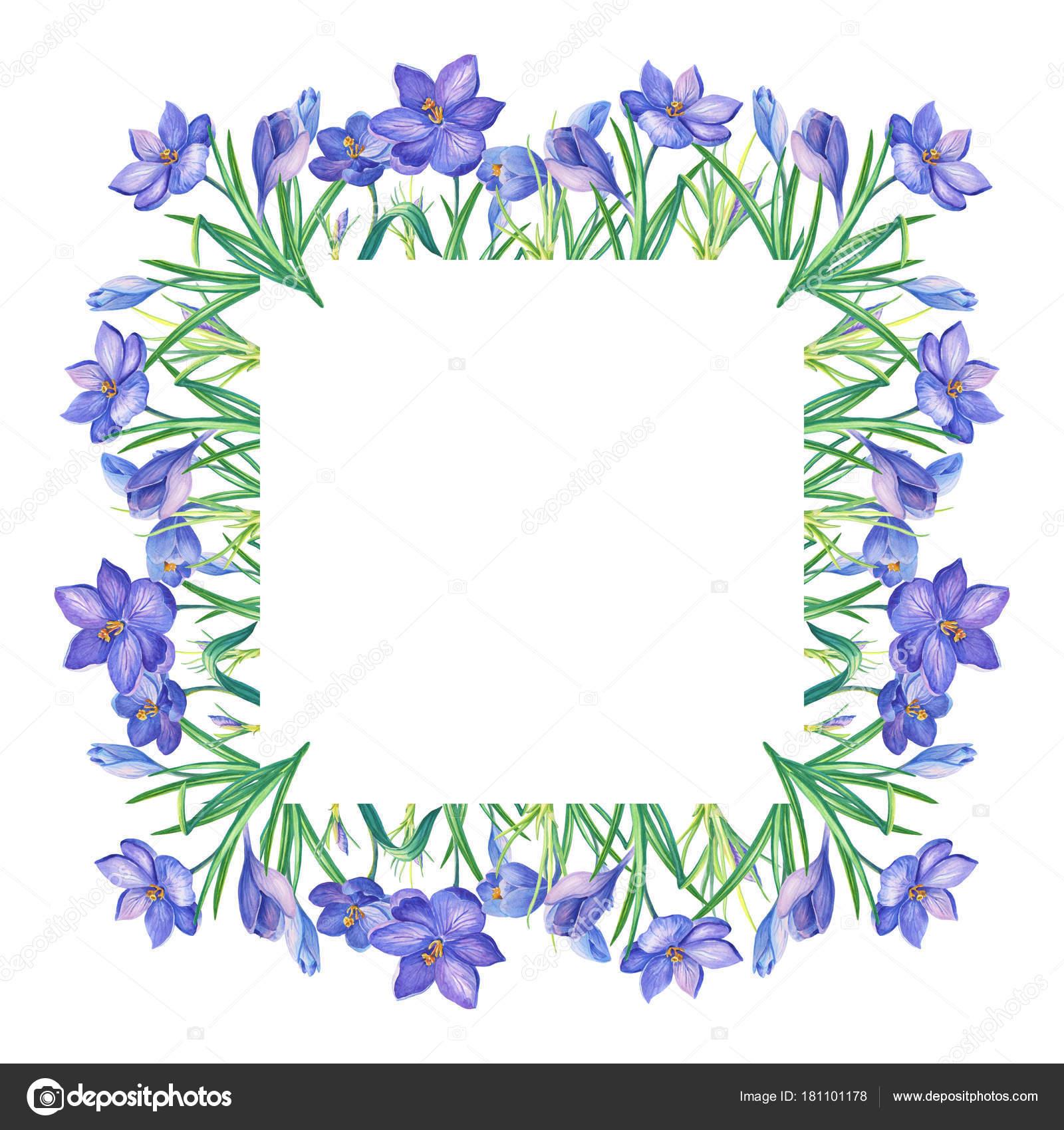 Frame Watercolor Illustration Crocus Saffron White Background ...