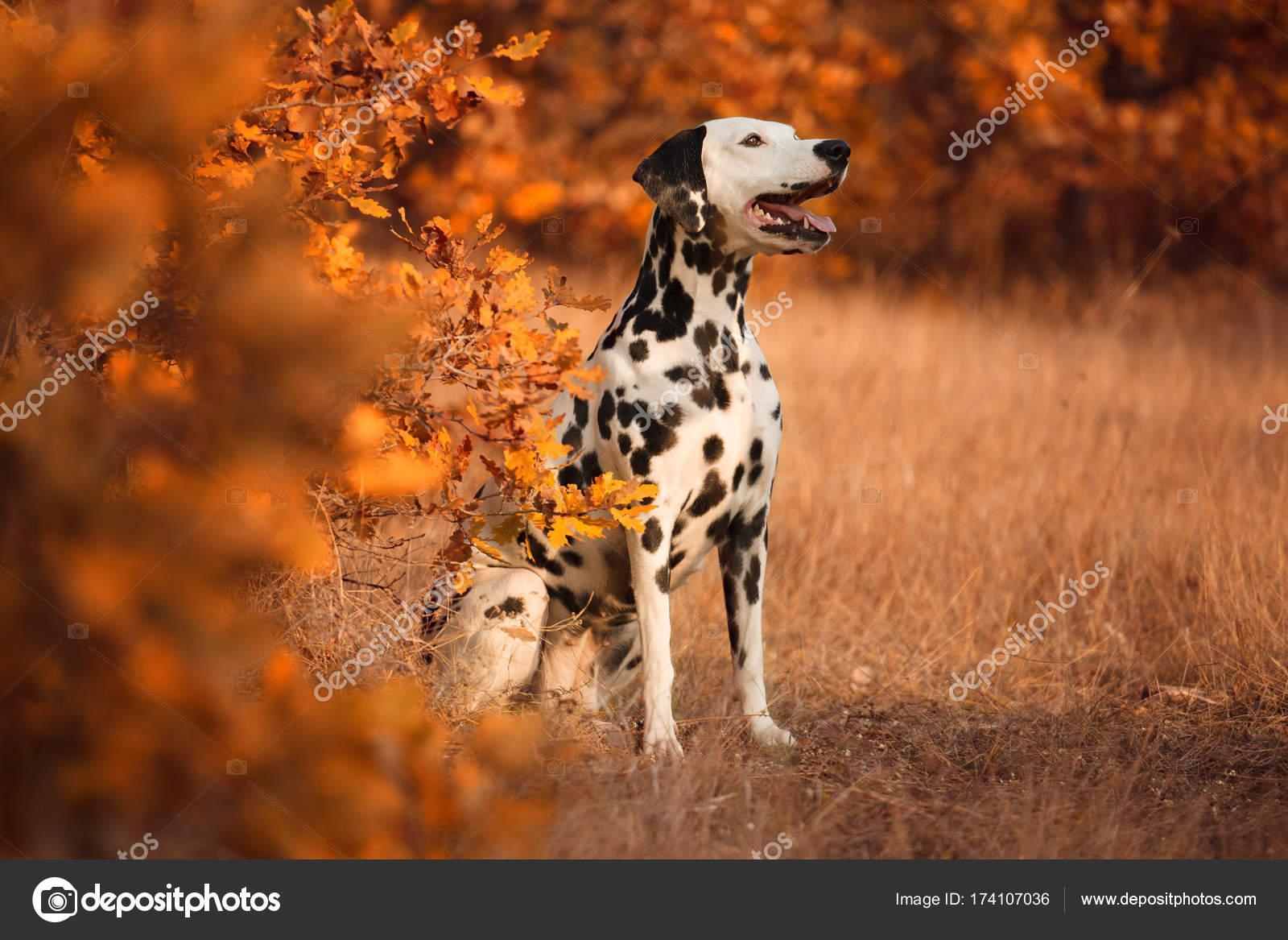 Ansprechend Schöne Hunderassen Dekoration Von Schöne Dalmatiner Im Herbstlichen Wald — Foto