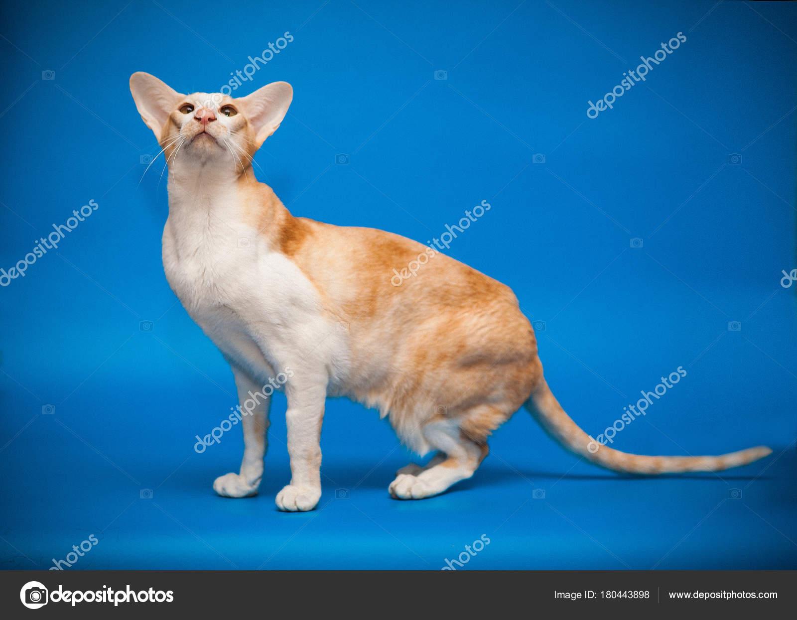 Rudy Kot Rasy Orientalnej Na Niebieskim Tle Zdjęcie Stockowe