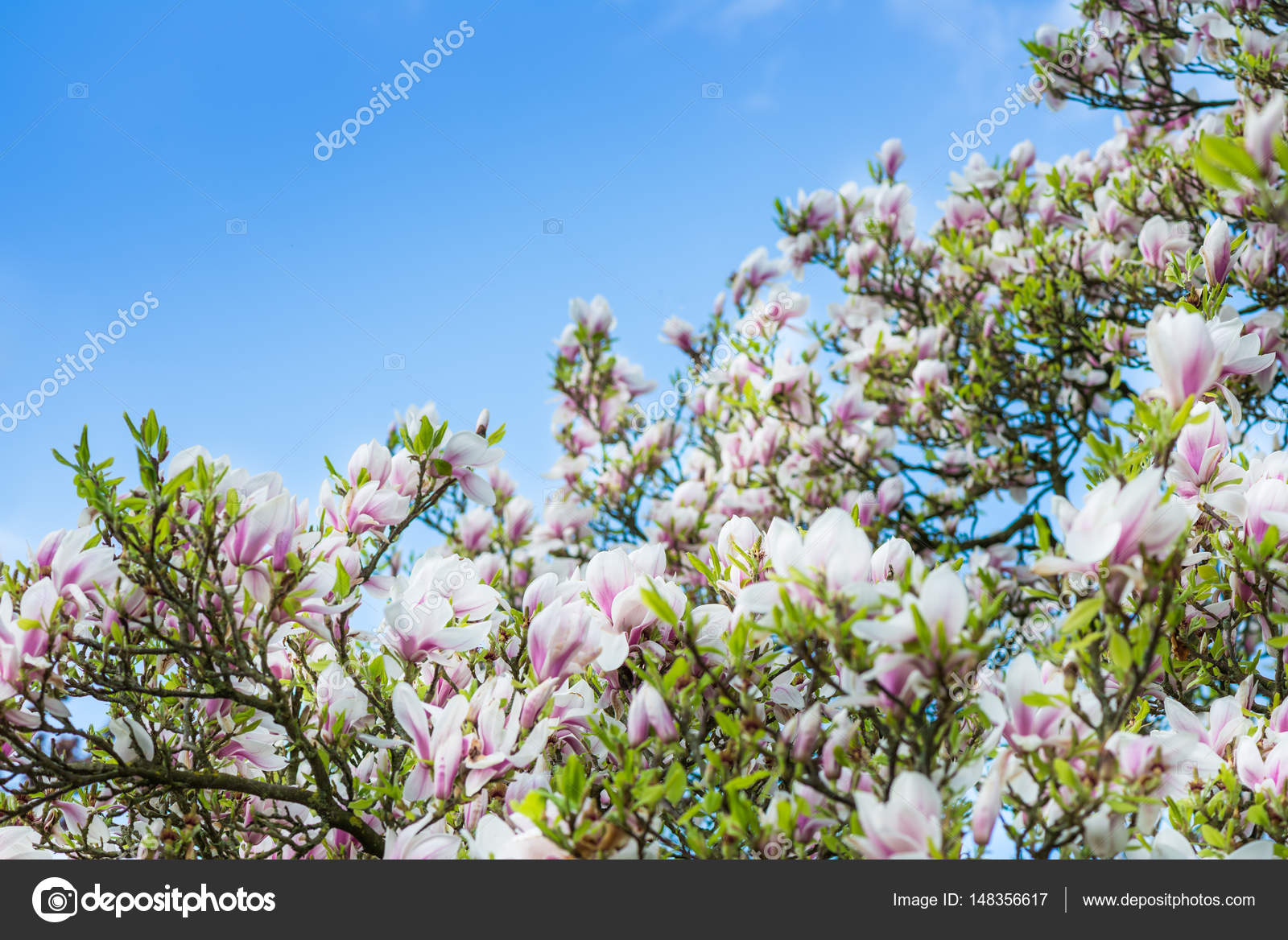 Pink Or Purple Magnolia Tree With Blooming Flowers Stock Photo