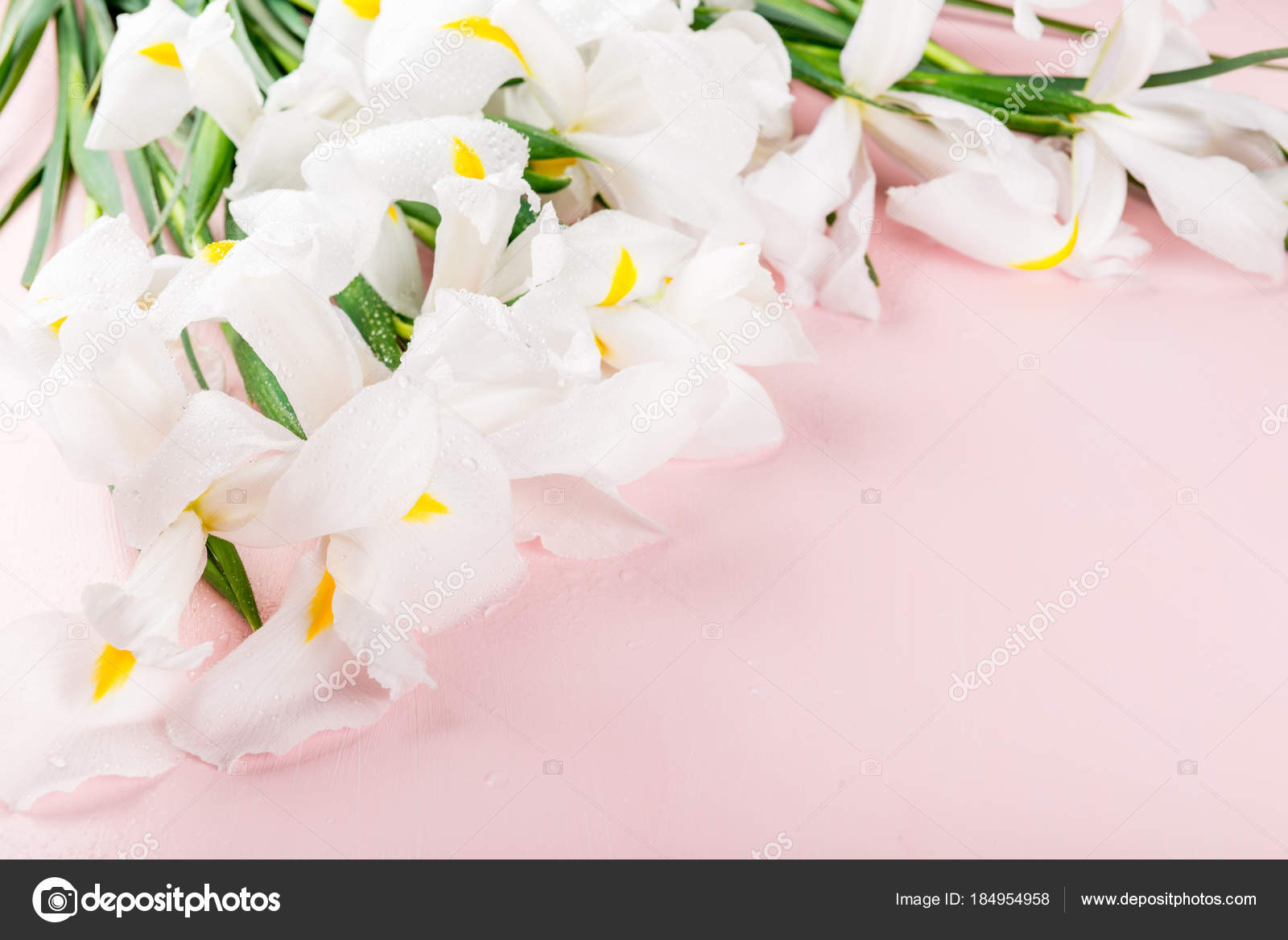 Beautiful white iris flowers on pink background stock photo beautiful white iris flowers on pink background stock photo izmirmasajfo