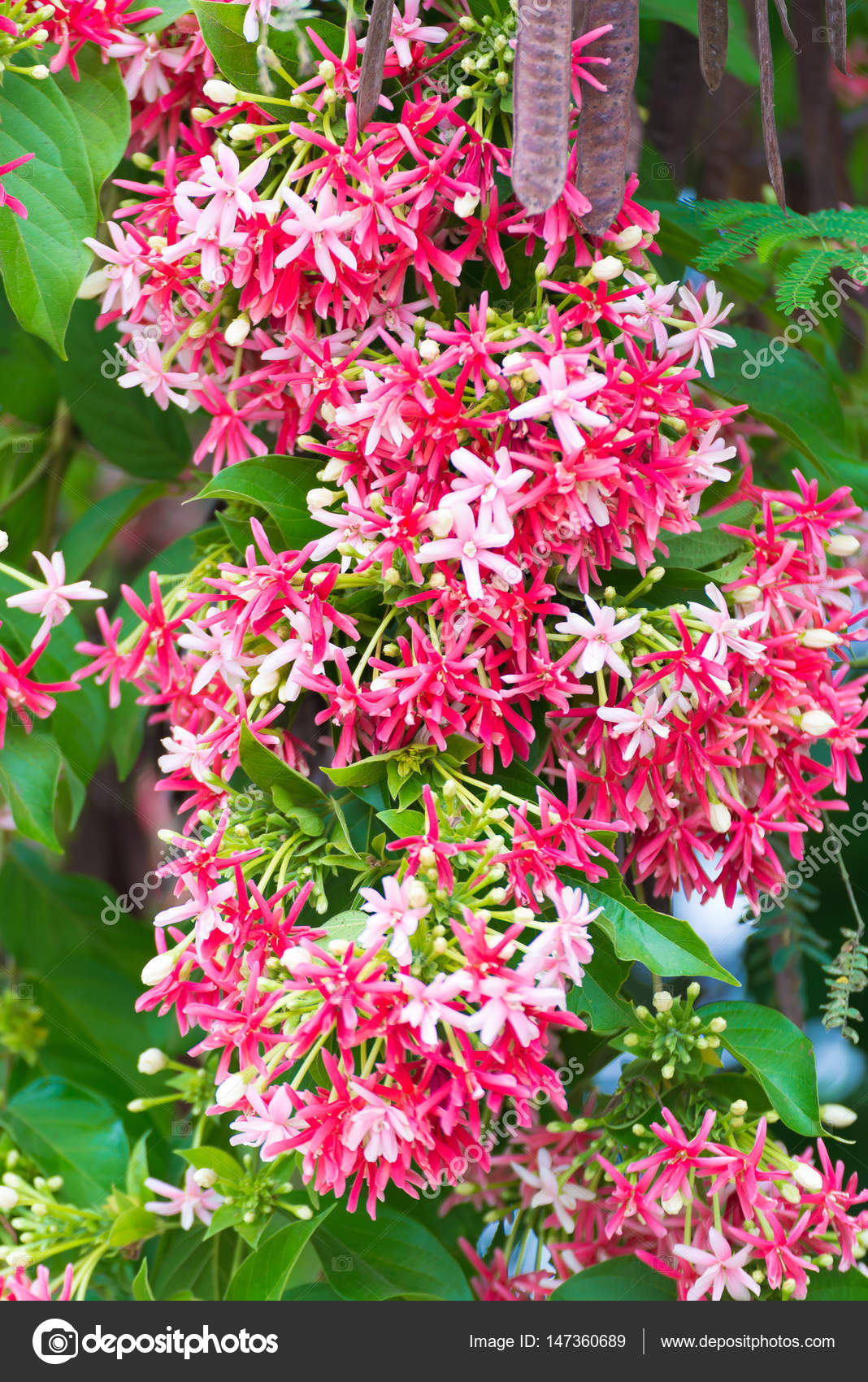 Pink Flowers Blossom Quisqualis Indica Flower Plant Chinese H