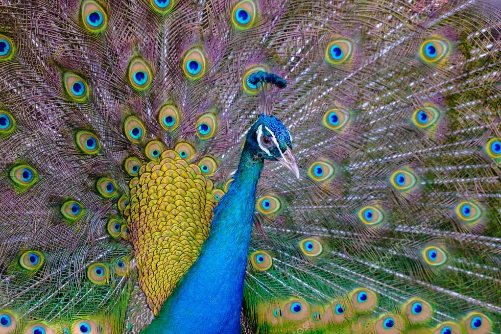 A beautiful male peacock with expanded feather, animal backgroun