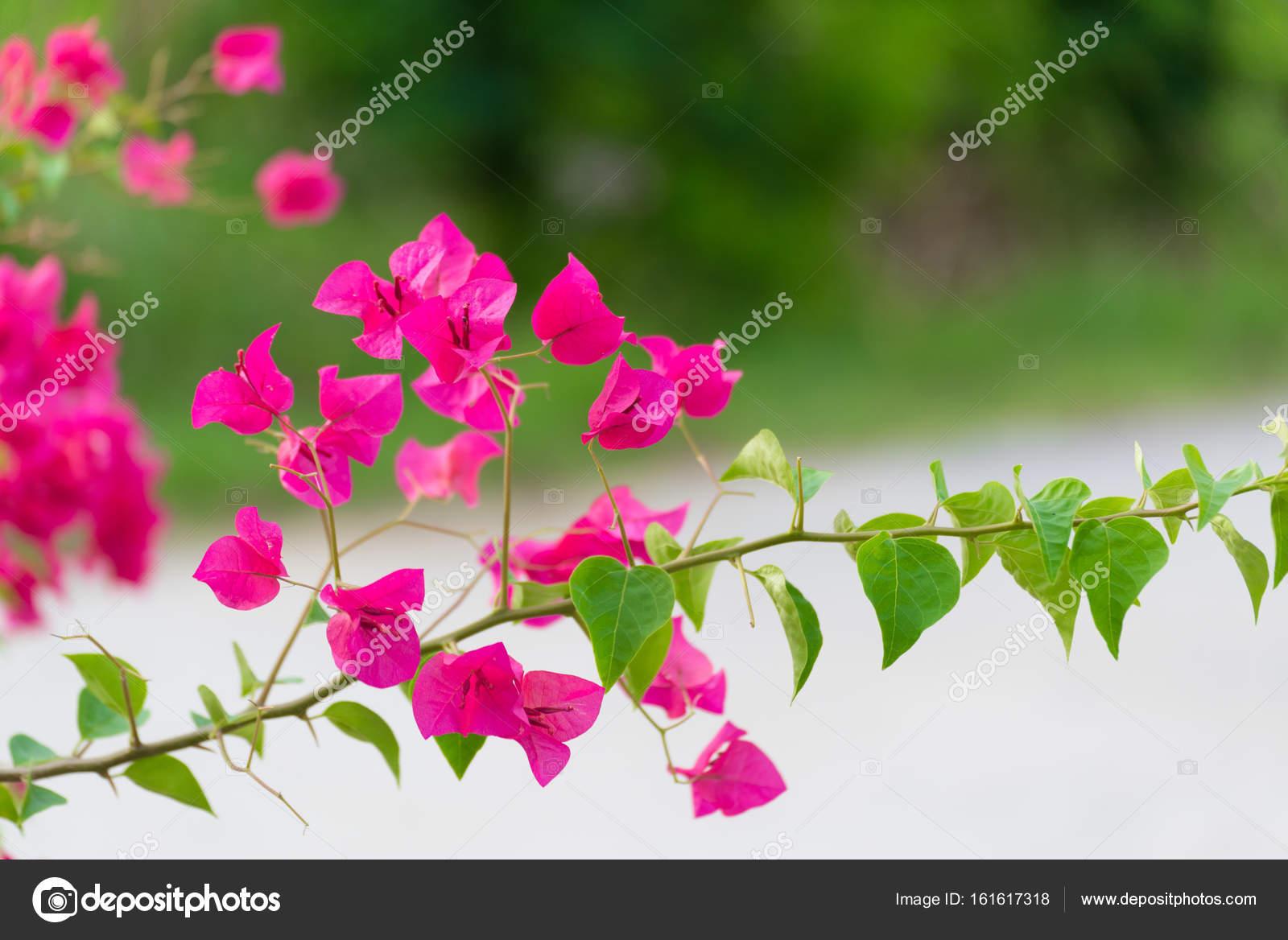 rose fleur de bougainvillier ou fleur en papier avec des feuilles
