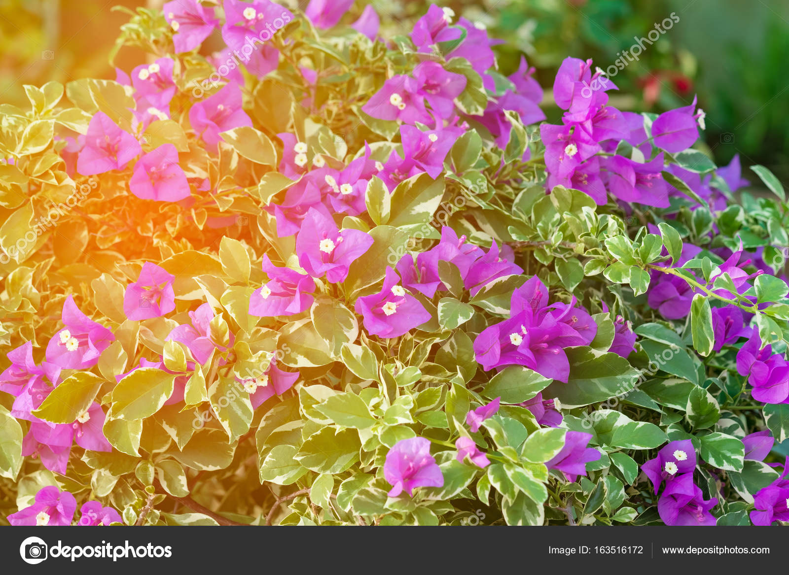 Purple Bougainvillea Flower Or Paper Flower With Leaves In The G
