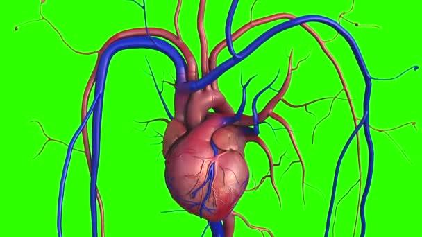 Modell Des Menschlichen Herzens Volle Clipping Pfad Enthalten ...
