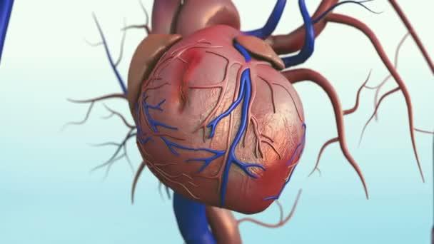 Menschliches Herz Herz Modell Beschneidungspfad Menschenherz Modell ...