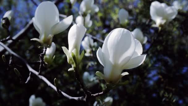 bílá Magnolia květiny na větvi stromu, Magnolia strom květy, bílá magnólie květy květinové přírodní pozadí