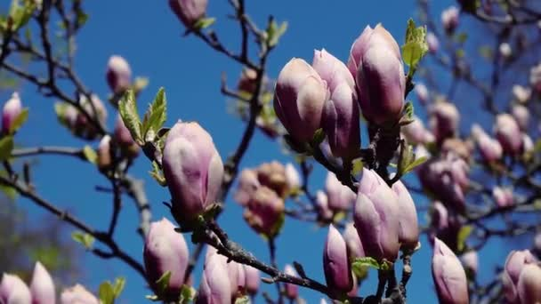 Růžové magnólie pupen, květiny růžové magnólie, růžové magnólie květiny na větev stromu, magnolie strom květ magnólie, růžové
