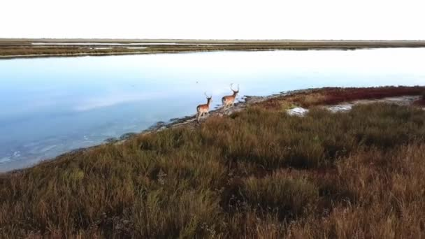 aerial view of deers on the lakeshore, sika deers in the autumn steppe, Herd of deer in autumn steppe aerial, aerial view of deers in the wild